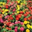 บานชื่นดอกซ้อน ดรีมแลนด์ (ต้นเตี้ย) สีผสม Dreamland Zinnia Mix Seeds / 20 เมล็ด thumbnail 1