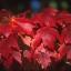 เมเปิ้ลแดง พันธ์ุอเมริกัน Red American Maple / 10 เมล็ด thumbnail 2