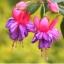 ตุ้มหูนางฟ้า ต่างหูนางฟ้า โคมญี่ปุ่น สีม่วงชมพู Fuchsia / 20 เมล็ด thumbnail 1