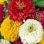 บานชื่นดอกซ้อน#5 (ต้นเตี้ย) สีผสม zinnia / 100เมล็ด thumbnail 1