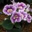 เมล็ดดอกกล็อกซีเนีย สีม่วง #11 (ดอกกุหลาบนางฟ้า) Gloxinia Purple / 30 เมล็ด thumbnail 1