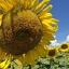 ทานตะวัน พันธ์จานดอกใหญ่ Big Sunflower /50 เมล็ด thumbnail 1