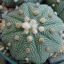 แอสโตรไฟตัม มงกุฏราชา Astrophytum Asterias Mix / 10 เมล็ด thumbnail 1