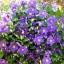 ดอกเคล็มแม็ททิส Clematis / 10 เมล็ด thumbnail 3