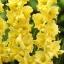 แกลดิโอลัส Gladiolus สีเหลือง / 1 หัว thumbnail 1