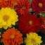 รักเร่ ริโกเล็ตโต้ Dahlia Rigoletto Mix Seeds / 20 เมล็ด thumbnail 3