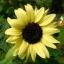 ทานตะวัน วาเลนไทน์ sunflower valentine / 50 เมล็ด thumbnail 2