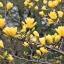 แมกโนเลีย magnolia / 20 เมล็ด thumbnail 6