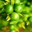 เมล็ดมะนาว / 20 เมล็ด thumbnail 1