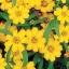 บานชื่นหนู สีเหลือง#11 / 400เมล็ด