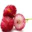 อิงลิช เดซี่ Bellis perennis pomponette / 50 เมล็ด thumbnail 2