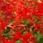 ซัลเวียสคาร์เรทคิงส์ สีแดง Salvia Scarlet King Red / 25 เมล็ด thumbnail 3