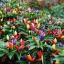 พริก7 สี พริกประดับ7สี Ornamental Pepper / 30 เมล็ด thumbnail 3