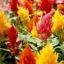สร้อยไก่ รอยัล มิ๊กซ์ คละสี Celosia Mix / 30 เมล็ด thumbnail 3