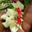 พวงเงิน Clerodendrum thomsoniae seeds / 10 เมล็ด thumbnail 1