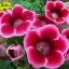 เมล็ดดอกกล็อกซีเนีย สีแดง #17 (ดอกกุหลาบนางฟ้า) Gloxinia Red / 30 เมล็ด