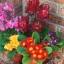 พริมูล่า คละสี Primula Mix / 10 เมล็ด thumbnail 3