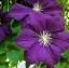 ดอกเคล็มแม็ททิส Clematis / 10 เมล็ด thumbnail 2