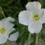 อีฟนิ่งพริมโรส สีขาว Evening Primrose Showy White/ 50 เมล็ด thumbnail 3