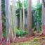 ยูคาลิปตัสสายรุ้ง (Rainbow Eucalyptus) / 20 เมล็ด thumbnail 12