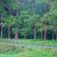 ยูคาลิปตัสสายรุ้ง (Rainbow Eucalyptus) / 20 เมล็ด thumbnail 11