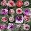 เมล็ดดอกกล็อกซีเนีย ดับเบิ้ล โบรเคด สีผสม (ดอกกุหลาบนางฟ้า) Gloxinia Double Brocade Mix / 30 เมล็ด thumbnail 6