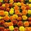 ดาวเรืองฝรั่งเศส ออโรร่า มิ๊ก marigolds french Mixed / เมล็ด thumbnail 1