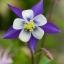 ดอกโคลัมไบน์ Columbine Flower / 25 เมล็ด thumbnail 3