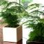 โปร่งฟ้า asparagus setaceus / 2 เมล็ด thumbnail 1