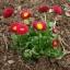อิงลิช เดซี่ Bellis perennis pomponette / 50 เมล็ด thumbnail 7