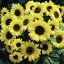 ทานตะวัน วาเลนไทน์ sunflower valentine / 50 เมล็ด thumbnail 5