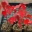 เมเปิ้ลแดง พันธ์ุอเมริกัน Red American Maple / 10 เมล็ด thumbnail 3