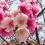 ซากุระญี่ปุ่น เชอรีบอสซัม Sakura / 10 เมล็ด thumbnail 1