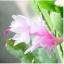 กระบองเพชรก้ามปู หรือมังกรคาบแก้ว Schlumbergera seed Mix / 100เมล็ด thumbnail 2
