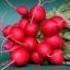 แรดิช Radish / หัวผักกาดแดง / 50 เมล็ด thumbnail 4