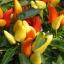 พริกประดับ capsicum frutescens / 15 เมล็ด thumbnail 1