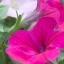 พิทูเนีย สีชมพู Petunia Pink / 200 เมล็ด thumbnail 2