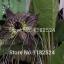 ว่านค้างคาวดำ Black Tiger Shall Orchid Flowers / 5 เมล็ด thumbnail 5