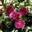 กุหลาบชาร์ลส์เดอมิลส์ Rosa 'Charles de Mills / 10 เมล็ด thumbnail 4