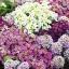 อลิซซั่ม คลิสตัน มิ๊กซ์ Alyssum crystal Mix / 100 เมล็ด thumbnail 3