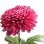 เบญจมาศ สีชมพูเข้ม Chrysanthemum / 20 เมล็ด thumbnail 2
