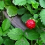 สตรอเบอรี่ป่า Mock Strawberry / 30เมล็ด thumbnail 2