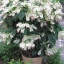 พวงเงิน Clerodendrum thomsoniae seeds / 10 เมล็ด thumbnail 5