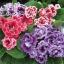 เมล็ดดอกกล็อกซีเนีย ดับเบิ้ล โบรเคด สีผสม (ดอกกุหลาบนางฟ้า) Gloxinia Double Brocade Mix / 30 เมล็ด thumbnail 1