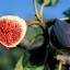 มะเดื่อฝรั่ง ม่วง fig purple patlican / 10 เมล็ด thumbnail 1