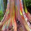 ยูคาลิปตัสสายรุ้ง (Rainbow Eucalyptus) / 20 เมล็ด thumbnail 4