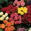 รักเร่ ริโกเล็ตโต้ Dahlia Rigoletto Mix Seeds / 20 เมล็ด thumbnail 2