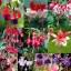 ตุ้มหูนางฟ้า ต่างหูนางฟ้า โคมญี่ปุ่น สีผสม Fuchsia Mix / 20 เมล็ด thumbnail 1