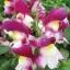 ดอกลิ้นมังกร ฟลอรัล ชาวเวอร์ คอรัล ไบคัลเลอร์ มิ๊กซ์ antirrhinum floral showersMix / 20 เมล็ด thumbnail 3