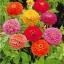 บานชื่นดอกซ้อน#5 (ต้นเตี้ย) สีผสม zinnia / 100เมล็ด thumbnail 2